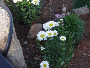Daisies by the water garden