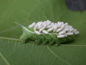 Tomato hornworm with Wasp larvae